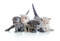 Five funny Scottish kittens on white Stock Photography