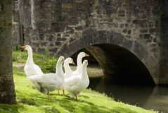 Free Five Geese On Grass Royalty Free Stock Photography - 14784307