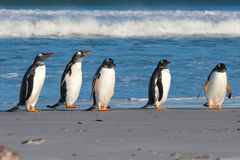 Five Gentoo Penguins lined up by the surf. Stock Photos
