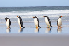 Five Gentoo Penguins in a row at shores edge. Royalty Free Stock Image
