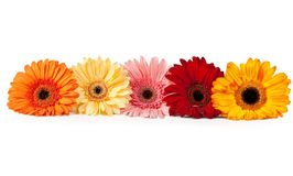 Five gerbera Royalty Free Stock Photos
