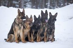 Five German Sheepdogs Stock Photos