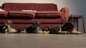 Five German shepherd puppies, four puppies lying. On the tile one goes stock video