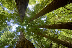 Five giant redwood trees converging against a blue summer sky. Looking up at the amazing Redwood Forest in the Santa Cruz area of California royalty free stock photo