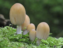 Five Glistening Ink Cap fungi Stock Photos
