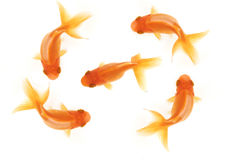 Five goldfish. Four goldfish swimming in circles around a central goldfish isolated on white, birdseye view Stock Photo
