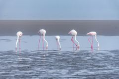 Five Greater Flamingos feeding in the lagoon at Walvis Bay stock photo