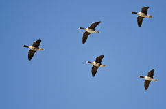 Five Greater White-Fronted Geese Flying in a Blue Sky Royalty Free Stock Image