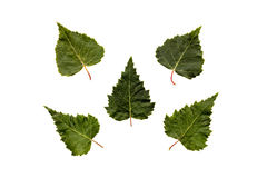 Five green birch leaves. Isolated on white background Stock Photos