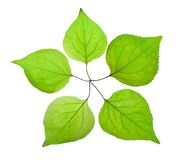 Five green leaf look like a five-pointed star Royalty Free Stock Photo