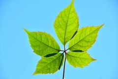 Five green leafs in the sun. Royalty Free Stock Image