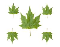 Five green leaves. Isolated on a white background Royalty Free Stock Photo