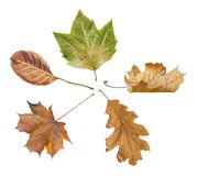 Five green and yellow autumn leaf from park isolated on white. Background Stock Photography