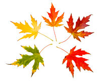 Five high resolution autumn leaves of maple tree Stock Images