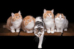 Five highland kittens on table with wooden texture Royalty Free Stock Photos