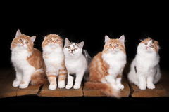 Five highland kittens on table with wooden texture Stock Photos