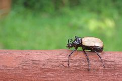 Five Horned Beetle Royalty Free Stock Photography