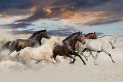 Five horse run gallop. In desert at sunset Royalty Free Stock Photos