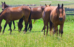 Five Horses Royalty Free Stock Images