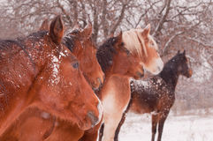 Five horses in a blizzard, all looking to the same direction Stock Image