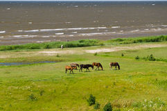 Five horses grazing on the green lush meadow near the sea. Overlook view Stock Photo