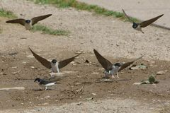 House Martins collecting mud for nests Stock Images