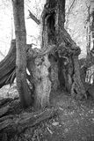 Ancient chestnut tree in black and white. Five hundred year old sweet chestnut tree in forest in black and white stock images