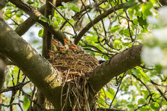 Five hungry сhicks in a nest on a tree branch in spring Royalty Free Stock Photos