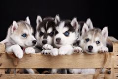 Five husky pups Royalty Free Stock Photo