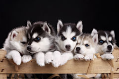 Five husky pups Stock Photos