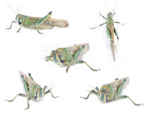 Five isolated grasshoppers Stock Image