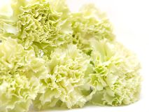 Five isolated green carnations on white background Stock Images