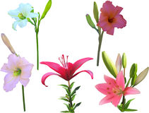 Five isolated lily with stems flowers collection Royalty Free Stock Image