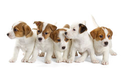 Five Jack Russell Terrier puppies Stock Photo