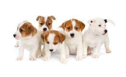 Five Jack Russell Terrier puppies Royalty Free Stock Photography