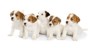 Five Jack Russell Terrier puppies Royalty Free Stock Photos