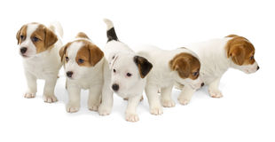Five Jack Russell Terrier puppies Royalty Free Stock Image
