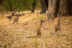 Five kangaroo standing in bush stock photo