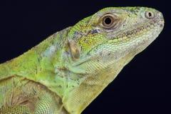Five-keeled多刺盯梢了鬣鳞蜥/Ctenosaura quinquecarinata 图库摄影