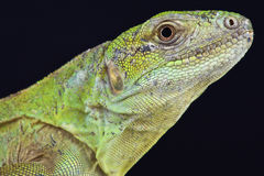 Five-keeled多刺盯梢了鬣鳞蜥(Ctenosaura quinquecariniata) 库存图片
