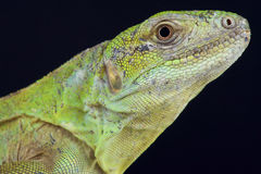 Five-keeled spiny-tailed Iguana / Ctenosaura quinquecarinata Stock Photography