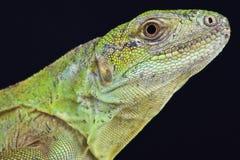 Five-keeled Spiny-tailed Iguana ( Ctenosaura quinquecariniata) Stock Image