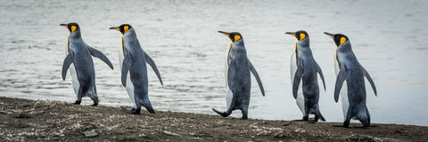 Five king penguins in line on beach Stock Photo