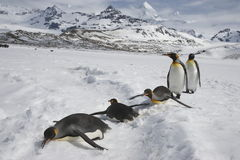 Five king penguins loafing in the snow. Five king penguins, three moving along on their bellies with flippers extended standing in fresh snow in front of the Stock Photos