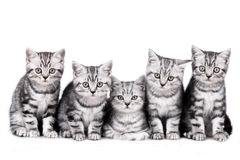 Five kitten isolated Royalty Free Stock Photo