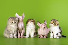 Five kittens Royalty Free Stock Images