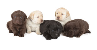 Five Labrador Retriever Puppies. Five Chocolate, Yellow and Black Labrador Retriever Puppies (4 week old, isolated on white background royalty free stock photos