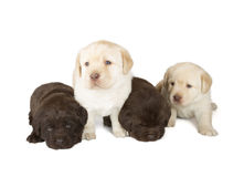 Five Labrador Retriever Puppies. Four Chocolate and Yellow Labrador Retriever Puppies (4 week old, isolated on white background royalty free stock images