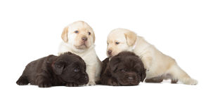 Five Labrador Retriever Puppies. Four Chocolate and Yellow Labrador Retriever Puppies (4 week old, isolated on white background stock image