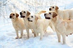 Five labradors retriever. Five labradors retriever in snow Stock Photo